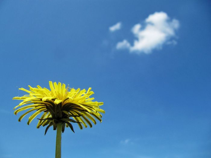 Dandelion Taraxacum Officinale Blue Sky Flower Low Angle View Nature Cloud - Sky Day No People Growth Beauty In Nature Outdoors Fragility Flower Head Close-up Freshness