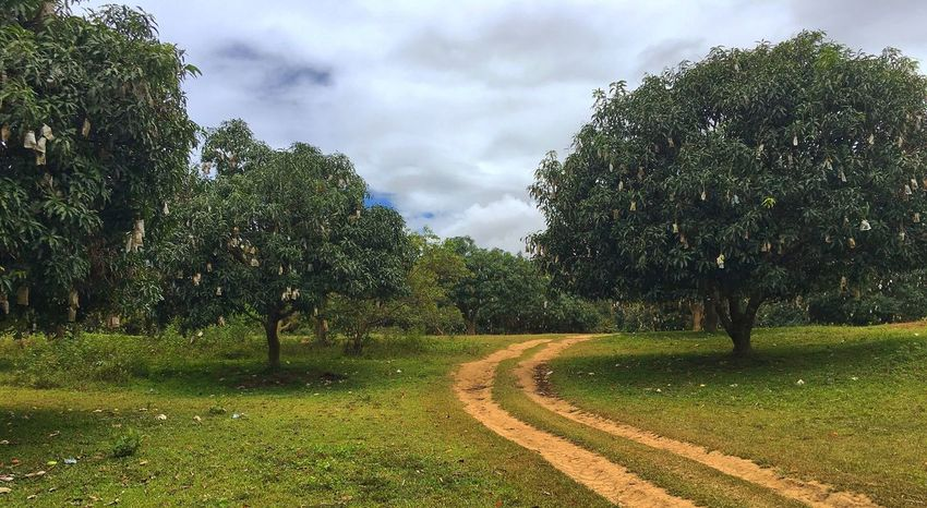 Mango farm Mango Mangoes Tree Cloud - Sky Nature Sky Growth Green Color Tranquility