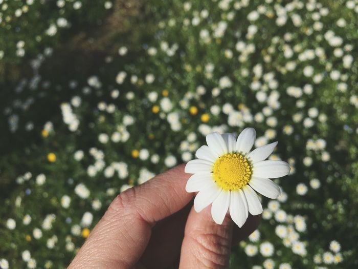 Close-up of hand holding white flower