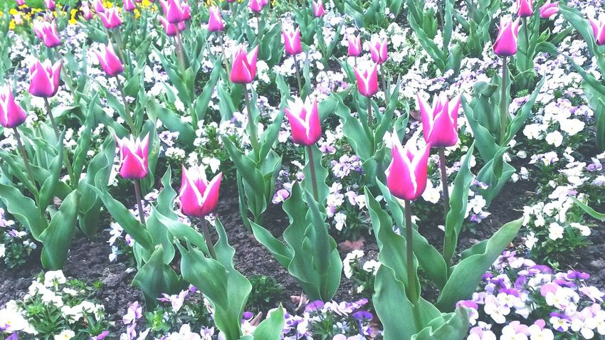 Sorry...this is just how i'm trying this app :) First Eyeem Photo Tulips🌷 Flowers Sunny Afternoon Walking Around