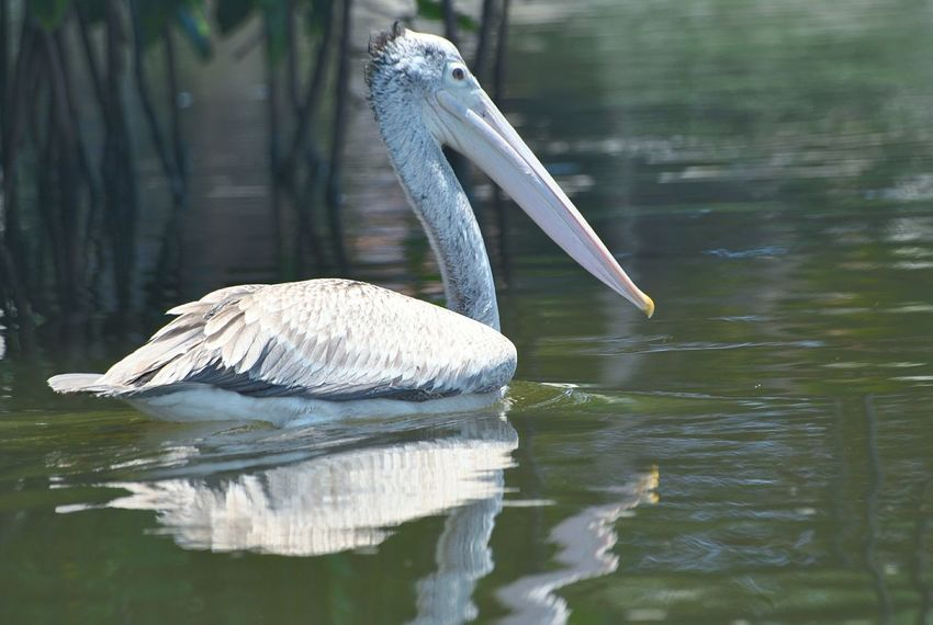 pelican Pelican Bird Water Lake Pelican Stork Close-up