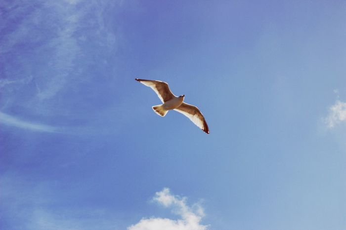 Flying Low Angle View Bird Animals In The Wild Sky Animal Themes Spread Wings One Animal Cloud - Sky Mid-air Day Animal Wildlife Nature Outdoors No People Blue Seagull Full Length Beauty In Nature Canon600D Canonphotography Canon CanonEOS600D Canoneos