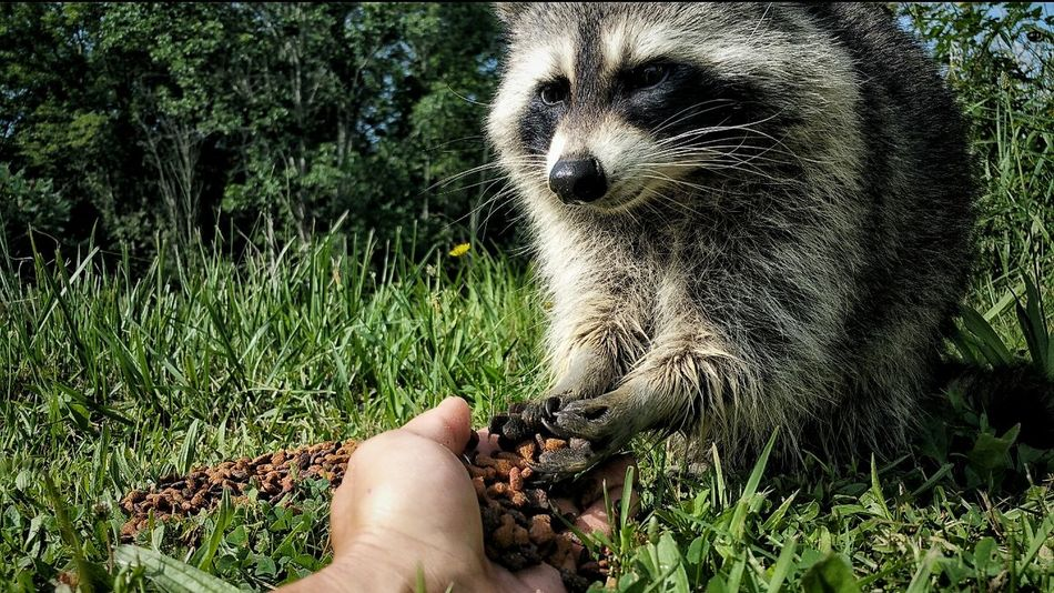 Animal Themes One Animal Raccoon Pet Close-up Human Hand Hand Feeding Family Pets Outdoors EyeEm Animal Lover
