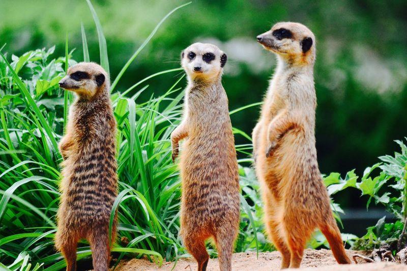 Close-Up Of Meerkats