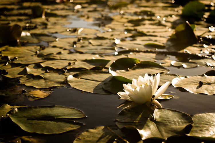 Lotus flower Lotus Flower Water Lily Water Pond Nature Floating On Water Reflection Lotus Water Lily Flower No People Leaf Beauty In Nature Tranquility Freshness Plant Day Close-up