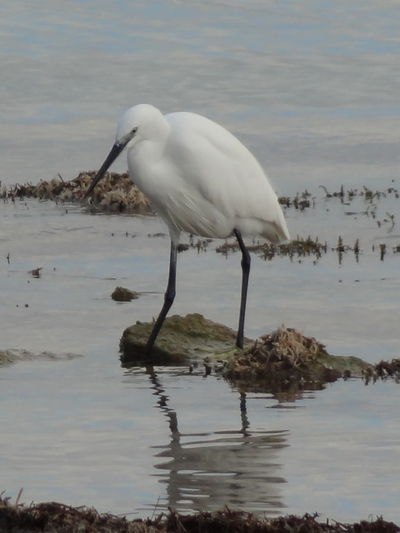 Animal Themes Animal Wildlife Animals In The Wild Beauty In Nature Bird Day Egret Egret With Ocean Background Great Egret Heron Lake Nature No People One Animal Outdoors Perching Water