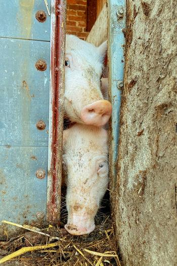 Close up of pigs looking through barn door