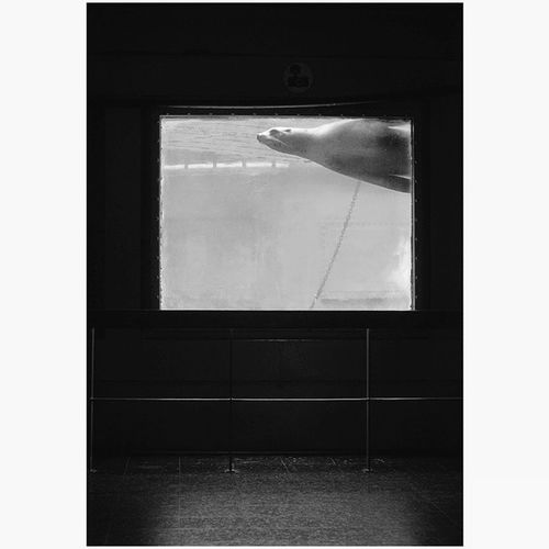 Seal Leonmarino Zoo Zoodebarcelona highisophotography lowlight indoor nikkorlenses animal blackandwhite blancoynegro Zoo de Barcelona, 2014.