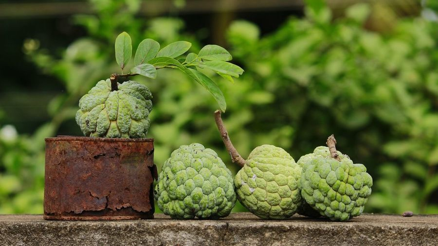 Custard Apples On Retaining Wall