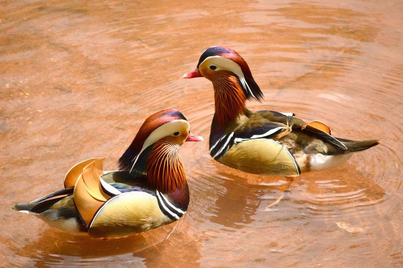 Mandarin Ducks Swimming In Pond