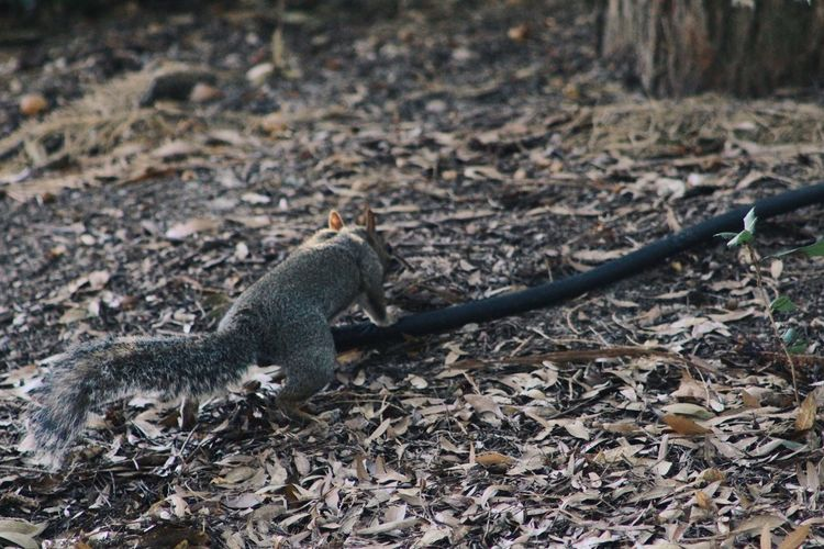 Close-up of squirrel on field