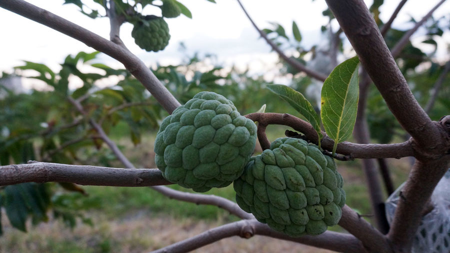Custard Apples Growing On Branch
