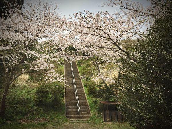 偶然見つけたお寺で。長い階段と桜。