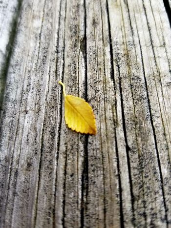 Nature Photography Michiganliving Yellow Leaf Nature Close-up Outdoors Textured  Wood - Material Autumn Fragility Beauty In Nature Fall Is Coming! Leaf 🍂 Leaf Photography Fallen Leaf Tiny Leaf 2017 My Back Yard Naturelover Leafs On The Ground Leaf Collection Day No People Leafs Colors