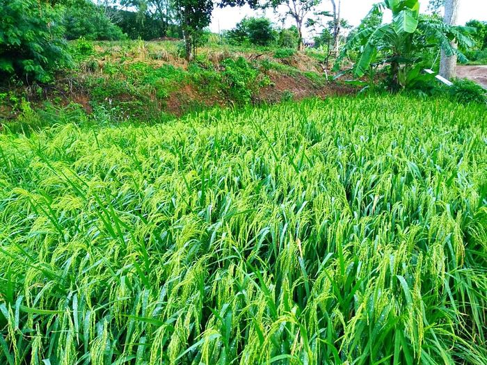 Green Color Growth Nature Grass Day Field No People Outdoors Agriculture Tree Beauty In Nature Freshness Rice Growth Rice Plant Plant Agriculture Beauty In Nature Green Color