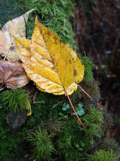 A piece of yellow fallen leaf on green grass in rain. Rain We Autumn Beauty In Nature Change Close-up Fallen Grass Green Color Growth Leaf Nature Yellow