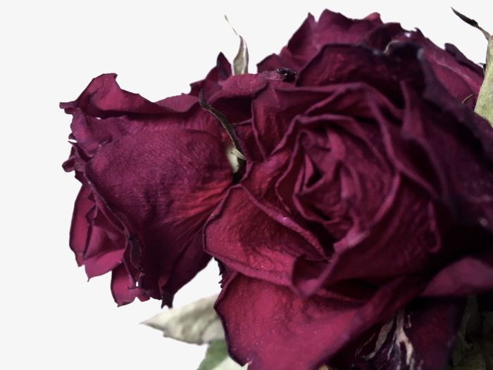 Beauty Among The Wilted  Flower Roses Nature Nature Textures EyeEm Nature Lover Withered Flower Withered