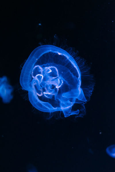 Shiny Animal Themes Animal Wildlife Animals In The Wild Aquarium Beauty In Nature Black Background Black Color Blue Close-up Danger Day Jellyfish Nature No People One Animal Outdoors Qualle Sea Sea Life Swimming Tentacle UnderSea Underwater Water