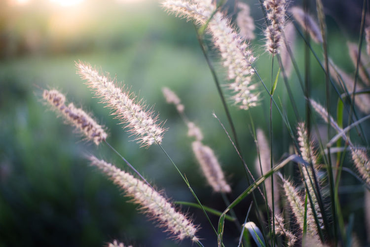 Beauty In Nature Close-up Day Field Flower Flowering Plant Focus On Foreground Fragility Freshness Grass Growth Nature No People Outdoors Plant Plant Stem Selective Focus Stalk Sunlight Timothy Grass Tranquility Vulnerability