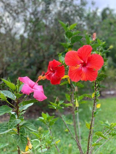 Pink Blooming