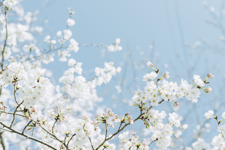 Low angle view of apple blossoms against sky
