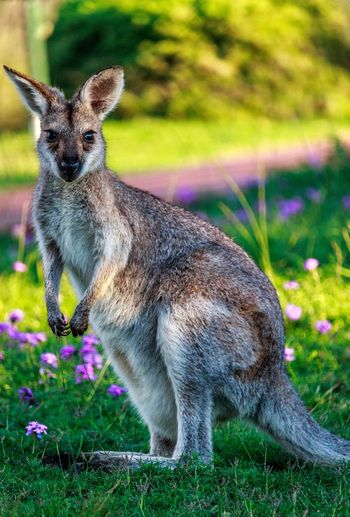 Close-up of wallaby on field