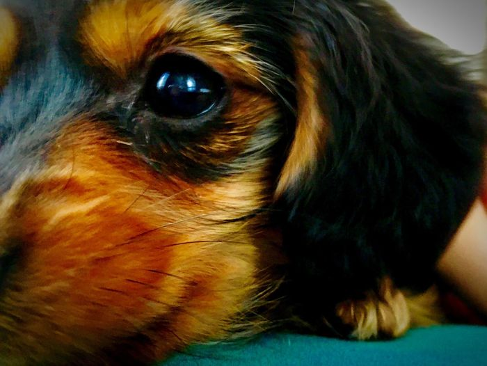 Dachshund-cross Dachshund Crossbreed Hybrid Dog Puppy Sleepy Chihuahua Yorkie Yorkshire Terrier チワワ ヨークシャテリア ヨーキー ダックスフンド