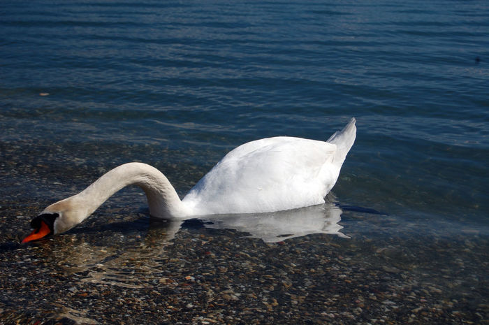 swan birds in lake ohrid,macedonia Bird Lake Ohrid Macedonia Ohrid Lake Ohrid Macedonia Skopje Swan Swans Swans ❤