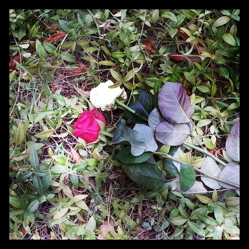 Roses, Flowers#nature#