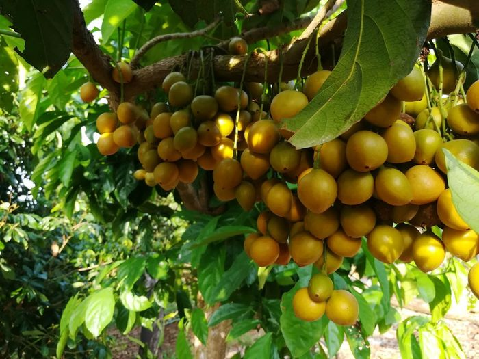 hungry 😍 Ads Promote Promotion Rambeh Plant Lambi For Sale Fruits Fruit Tree Bunch Of Fruits Yellow Orange Color Cool Amezing Bunch Tree Grapefruit Fruit Healthy Lifestyle Hanging Agriculture Citrus Fruit Grape Rural Scene Leaf