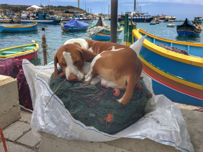 Sleeping dog on fishing net at Harbour in Marsaxlokk, Malta Animal Themes Boat Day Dog Domestic Animals Harbor Mammal Mode Of Transport Moored Nautical Vessel No People Outdoors Pets Sea Sleeping Dog Transportation Water