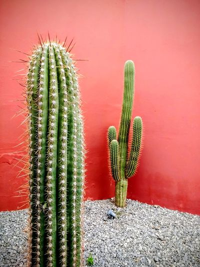 Saguaro Cactus Cactus Spiked Thorn Close-up Plant Green Color Arid Climate Desert