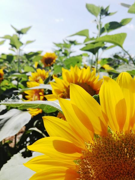 Sunflower Sunflower Yellow Nature Beauty In Nature Flower Flower Petal Nature Plant Flower Head Yellow Fragility