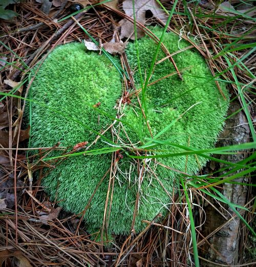 Mossy Heart Mossy Heart Mossy Moss Mossporn Moss-covered Moss Close Up Moss Art Heart Green Green Color Emerald Green Heart  Emerald Heart Grass Leaves Leaf Pine Needles Colour Of Life Place Of Heart Out Of The Box