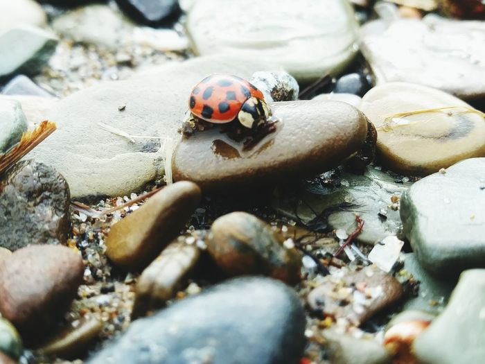 Ladybug luck Beach Beauty In Nature Outdoor Photography Pollution In My World Savetheplanet EyeEm Selects Sea Life Insect Hermit Crab Close-up Tiny Ladybug Shore Bug Sandy Beach Pebble Beach