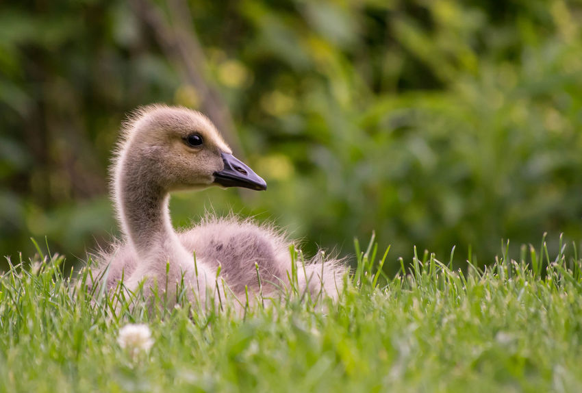 Animal Themes Animal Wildlife Animals In The Wild Beak Beauty In Nature Bird Close-up Day Field Goose Gosling Gosslings Grass Growth Nature No People One Animal Outdoors Plant Young Animal Young Bird EyeEmNewHere