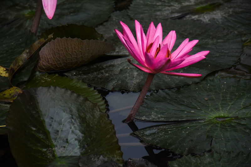 Beauty In Nature Floating Floating On Water Flower Flower Head Flowering Plant Fragility Freshness Growth Leaf Leaves Lotus Water Lily Nature No People Outdoors Petal Pink Color Plant Plant Part Pond Purity Purple Vulnerability  Water Water Lily