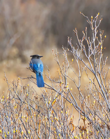 Blue Jay Bright Feathers Nature Stellers Jay Yosemite National Park Animal Background Bird Blue Branch Colorful Detail One Animal Single Twig