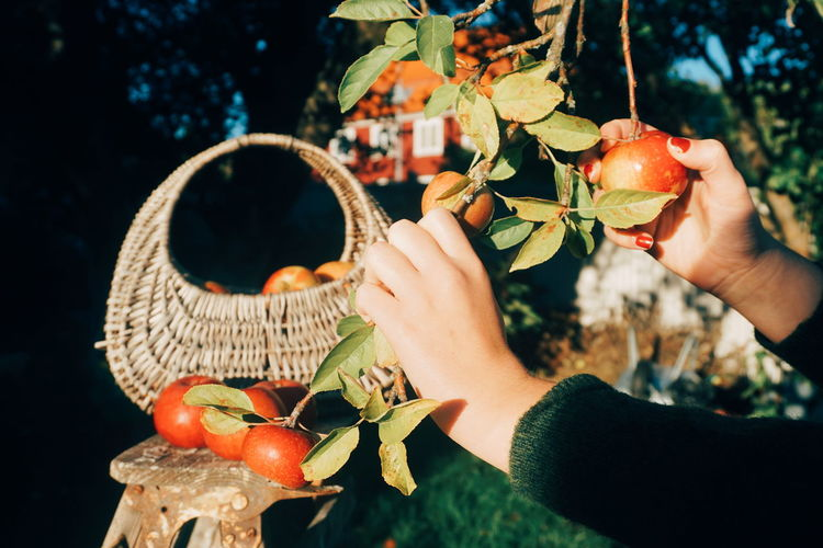 Cropped hands of woman picking apples growing on tree