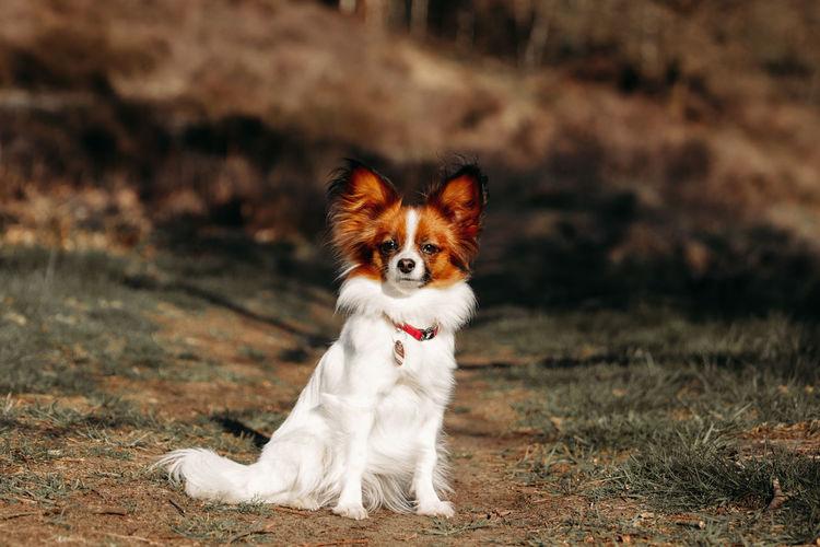 Portrait of a cute papillon dog