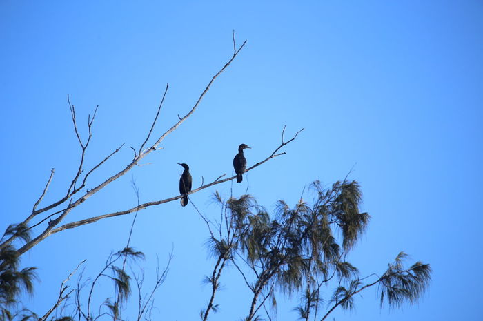 Animal Wildlife Animals In The Wild Bare Tree Branch Clear Sky Low Angle View Nature Outdoors Tree Two Birds Two Cormorants