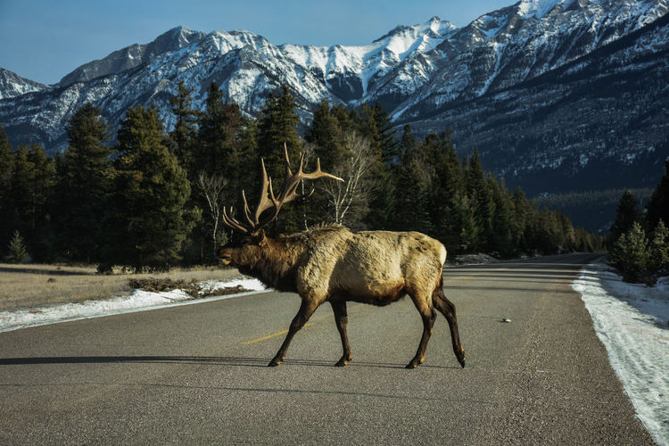 Side view of deer walking on road against mountains during winter
