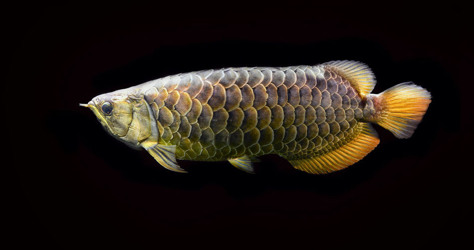 arowana malaysia gold 24 K in aquarium fish Animal Animal Themes Black Background One Animal Animal Wildlife Studio Shot Close-up Indoors  Animals In The Wild No People Vertebrate Animal Body Part Copy Space Invertebrate Underwater Colored Background Animal Scale Sea Nature Water Profile View Fish Marine