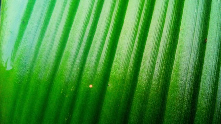 Backgrounds Leaf Pattern Full Frame Natural Pattern Beauty In Nature Palm Leaf Nature Leaves Green Color Outdoors Plant Part Close Up Texture Wall Art Wallpaper Backdrop Model Landscape Art Wildlife & Nature Design Palm Tree