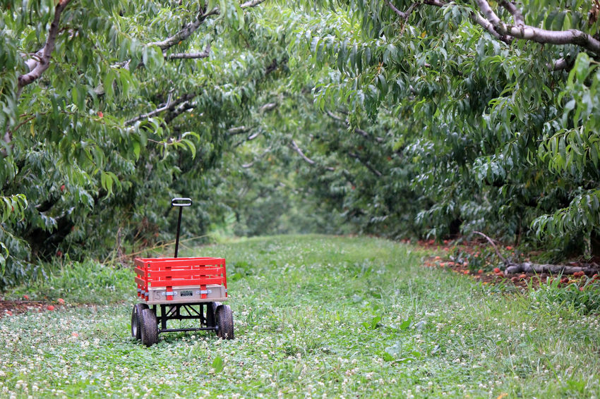 Branches Green Nature Orchard Red Trees Wagon  Wheels