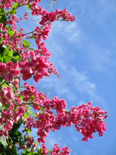 FLOWER & SKY Beauty In Nature Branch Close-up Day Flower Flower Head Fragility Freshness Growth Low Angle View Nature No People Outdoors Pink Color Sky Springtime Sunlight Tree พวงชมพู