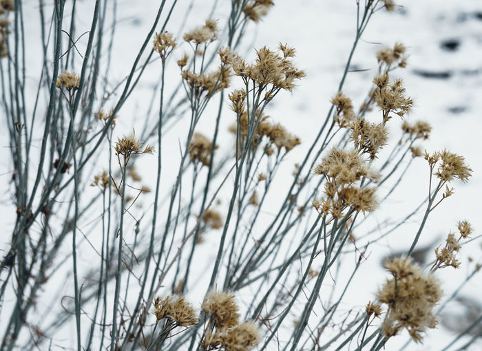 Close-up of flowering plant on snow field