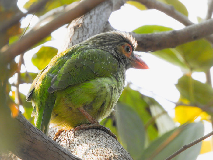 brown headed barbet Green Forest India Perched Beak Barbet Green Barbet Bird Perching Tree Leaf Branch Close-up Green Color Woods