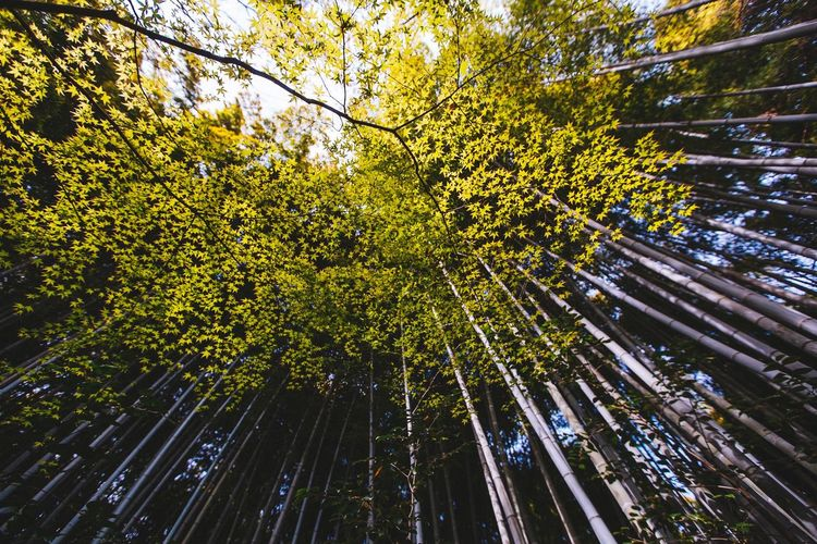 Japanese Bamboo Forest Plant Tree Growth Low Angle View Beauty In Nature Nature No People Green Color Tranquility Forest Branch Outdoors Day Tall - High Bamboo Grove Scenics - Nature Bamboo - Plant Sunlight