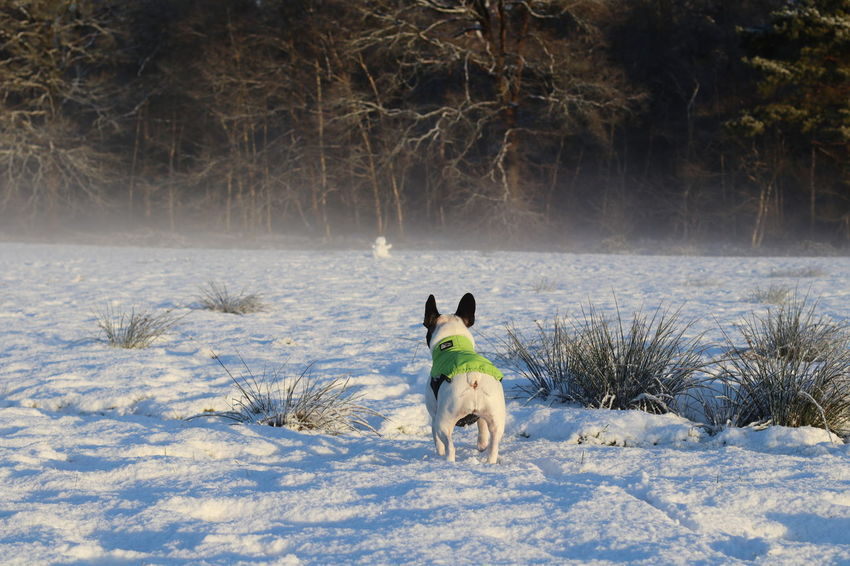 Black And White French Bulldog Cold Temperature Crazy Looking Dog Dog Dog In Action Dog In The Snow Französische Bulldogge  Französische Bulldogge Im Schnee French Bulldog French Bulldog In The Snow French Bulldog Looks Funny Frenchbulldog Fun In The Sno Hund Im Schnee Hund In Aktion Hunde Kleiner Hund Mad Dog Outdoors Small Dog Snow Verrückter Hund Weird Looking Dog Winter Fun Winter Sun